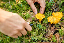 Picking Season And Leisure People Concept - Close Up Of Male Hands With Knife Picking Mushrooms In Autumn Forest