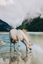 A White Horse Drinks Melt Water By A Mountain Lake.
