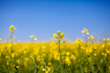 Yellow Rapeseed Flowers In A Field Against A Blue Sky. Yellow Rapeseed Flowers, Rape, Colza, Rapaseed, Oilseed, Canola, Closeup Against S Sunny Blue Sky