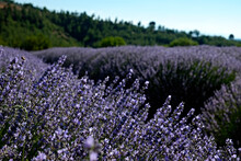 Clusters Of Purple Flowers On A Lavender Farm. Beautiful Landscape Of Aromatic Plants Farm. Copy Space For Text, Panoramic Background.