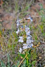 A Wyoming Wild Flower On The Prairie