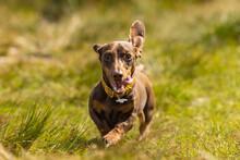 Miniature Dachshund Running In The Grass