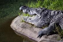 A Crocodile Sunbathing