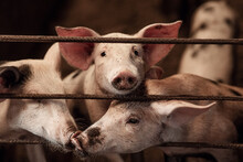Domestic Pigs On A Pig Farm. Meat Industry. The Concept Of Farm Life And Animal Husbandry, Close-up