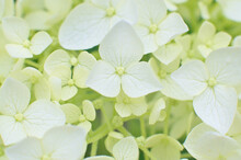 Close-up Of White Tender Hydrangea Arborescens Flowers.
