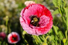 Bombus Lucorum Or White Tailed Bumble Bee Inside A Papaver Rhoeas Or Red Poppy Flower Close Up