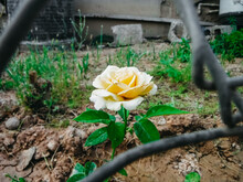 Soft Yellow Flower Behind Metal Fence Surrounded By Green Grass