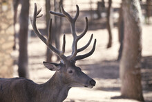 Lonely Deer With Big Antlers In A Park