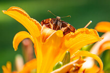 Brown And White Butterfly Looking Out Over Golden Orange Daylily Flower