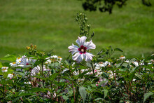 Close-up View Of Stunning White Swamp Rose Mallow Flowers (hibiscus Moscheutos) Blooming In A Sunny Ornamental Garden