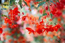 ベゴニア 熱帯植物