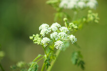 Poison Hemlock In Bloom Closeup View With Selective Focus Foreground