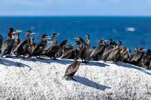 Group Of Sea Cormorants Sits On A Flat Cliff Against The Background Of The Sea.