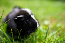 Black Guinea Pig Sitting Outdoors In Summer, Pet Calico Guinea Pig Grazes In The Grass