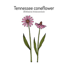 Tennessee Purple Coneflower Echinacea Tennesseensis , State Flower Of Tennessee