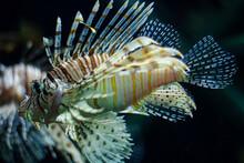 Close-up Of Lion Fish Swimming In Aquarium