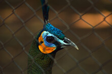 Peacock Head In A Wire Cage Photo