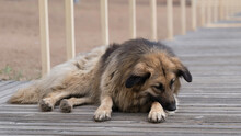 A Beautiful Homeless Dog Lies On A Wooden Deck On The Beach