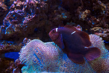 Maroon Clownfish  And Sarcophyton Sp