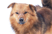 Snow-covered Brown Dog Close Up, Portrait Of A Dog In Winter