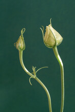 Closeup Shot Of Two White Carnation Flower Buds Isolated On Green