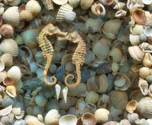 Dried Seahorses On A Beach Background, Close Up Of Colourful Seashells In Different Shapes