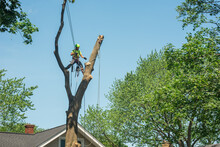 Tree Service Worker Hanging On A Tall Tree