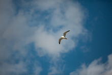 Ring Billed Gull Flying Through Cloudy Open Skies