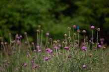 Indigo Bunting Atop Purple Thistle Wildflower