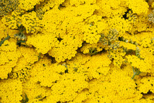 Yellow Yarrow Flower Background