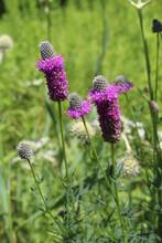 Purple Prairie Clover In Bright Sun At The Miami Woods Restored Tallgrass Prairie In Morton Grove, Illinois