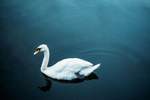 White Swan In Quiet River Water