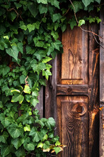 An Old Wooden Door Covered By A Climbing Plant.