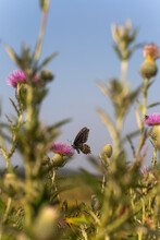 Black Swallowtail Butterfly On Pink Thistle