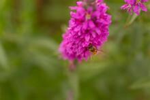 Bee Amongst Pink Wildflowers