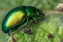 Closeup Shot Of A Tansy Beetle On A Leaf