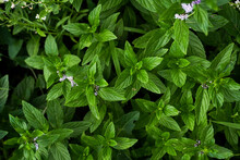 Mint Plant Grow At Vegetable Garden. Fresh Green Young Mint. Nature Background With Spearmint Herbs.