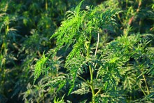 Common Ragweed, Ambrosia Artemisiifolia, Is A Widespread Invasive Species, And Can Become A Noxious Weed