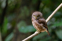 Collared Owlet,looking From A Tree Branch In Tropical Forest