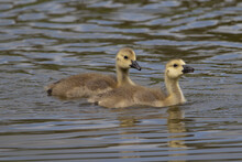 Detail Of Two Goslings Of Canada Goose (Branta Canadensis) Swimming Fast In A Line