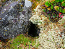 A Hole Between Moss And Stone In The Forest In Spring.