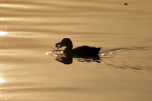 Silouette Of A Duck In The Lake