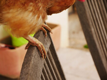 Close-up Of A Hen's Legs On Top Of A Chair