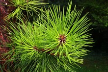 Dense Green Needles Of Pitch Pine Coniferous Tree, Latin Name Pinus Rigida, Growing Directly From Wet Trunk, Summer Afternoon Sunshine.