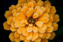 Closeup Of An Orange Flower On A Black Background