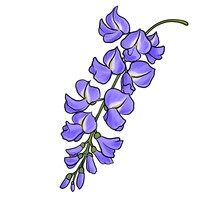 Drawing Flowers Of Wisteria Isolated At White Background, Hand Drawn Illustration