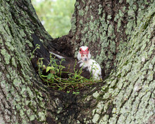 Female Muscovy Duck With Black, White, And Red Markings Is Nesting In The Middle Space Of A Tree With A Blurred Green Background.