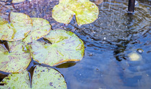 Close And Selective Focus Of Lilies And Lily Pads Growing In A Garden Pond With A Sprinkler.