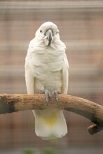 White Cockatoo Parrot In Captivity Man.