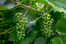 Green Bunches Of Still Unripe Grapes On A Vine.